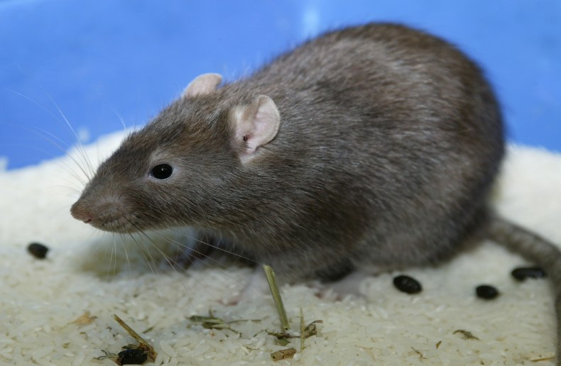 how to tell the difference between mice and rats