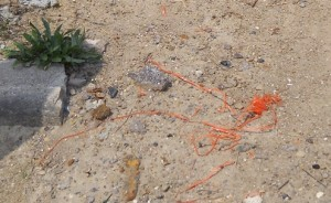 Shreds of what appears to be orange geofabric on Munger site in July, 2012. Photo by Sheila Crowell.