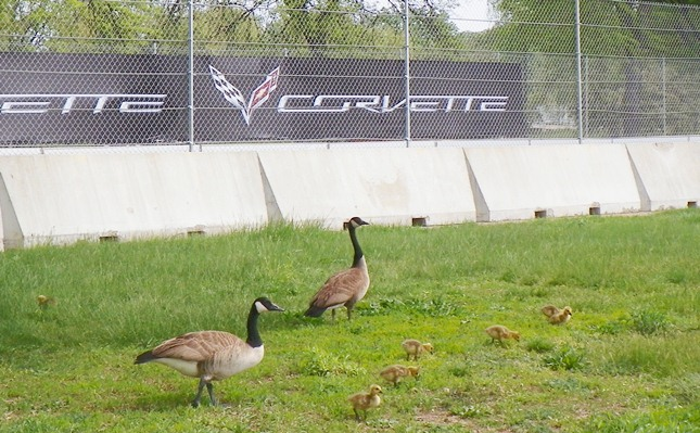 Geese and baby goslings were trapped by fences outside of barricades.