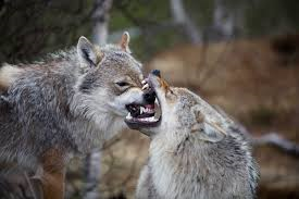 Fighting wolves resemble Republicans and Democrats.